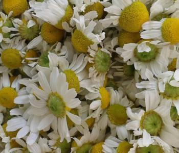 flores-manzanilla