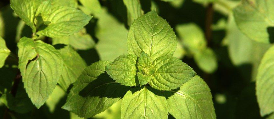 plantas aromaticas repelentes de mosquitos