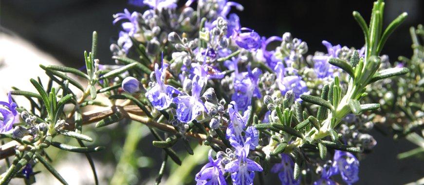 plantas aromaticas repelentes de mosquitos, ecoherbes