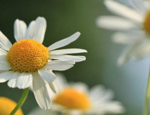 La manzanilla y sus beneficios en nuestra salud
