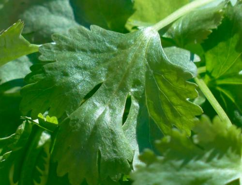 Los beneficios de añadir el cilantro en tu dieta