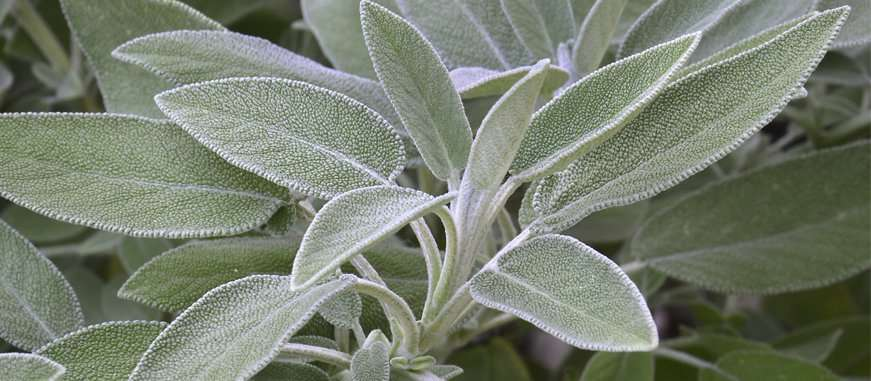 Salvia officinalis propiedades curativas for La salvia en la cocina