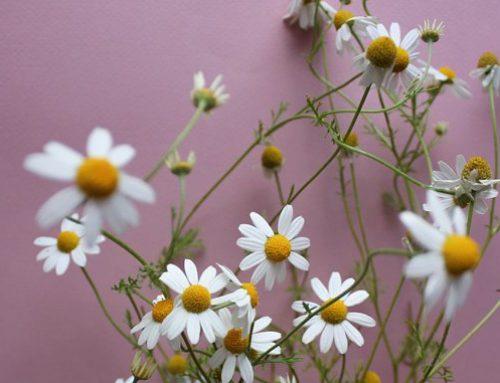 Trucos de belleza: ¿para que sirve la manzanilla?