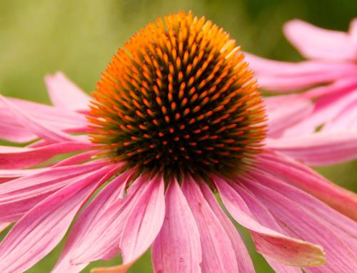 7 antibióticos naturales para dolor de garganta y cómo prevenirlo